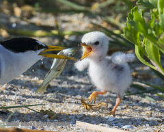 Tern chick grabs for a fish Canon 1D-X + 800mm (Mike Black photography) Tags: new black bird beach mike nature canon adult birding nj aves chick shore jersey tern 800mm 1dx