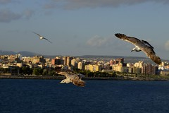 Gaviotas sobre el mar (juanmtnez2) Tags: sea mar nikon aves pajaros 1855 mallorca gaviotas d5100