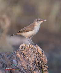 Rock Wren in Evening Light (Fly to Water) Tags: wild bird rock photography nikon image wildlife professional sample perch perched fl wren f4 avian fluorite f4e salpinctes obsoletus 600mm