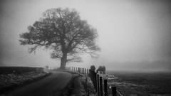 horses in the fog black and white (HHH Honey) Tags: sonya7rii sony70300g wiltshire winter landscape trees fence road horses blackwhite googlenikcollection silverefexpro agfa agfa100 fog farming bedwyn