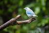 Blue-gray Tanager Dealing with the Rain (jeff_a_goldberg) Tags: laquintadesarapiqui sarapiqui winter costarica rain naturalhabitatadventures nathab bluegraytanager tanager heredia cr