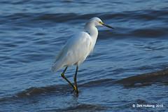 Snowy Egret 13904gb