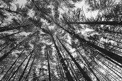 Through the trees (reclaimednj) Tags: tuckerton newjersey unitedstates us 2017 nj bassrivertownship newgretna bassriverstateforest forest winter trees monochrome blackandwhite