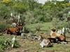 20090920_096 (carlos mancilla) Tags: vacas cows ganado cattle bostaurus olympussp570uz