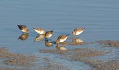 Dunlins? (suekelly52) Tags: dunlin bird