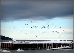 Gulls take flight in Door County (Jeremy Pardoe) Tags: doorcounty