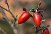 Diospyros rhombifolia (pixelGeko) Tags: diospyros peckerwoodgardens fruit persimmon plant red rhombifolia