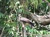 IMG_9052 (dstylebda) Tags: colonpanama gatunlake tamarins howlermonkeys sloth