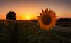 Tiempo de Girasoles... (protsalke) Tags: sunflowers lights sunset colors nikon light beautiful sky calm sun cielo colores field girasoles atardecer landscape paisaje