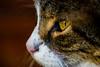 Profile (Rico the noob) Tags: dof tc14eiii published eye macro nature bokeh closeup d500 germany cat animals 2016 105mmf28 105mm animal