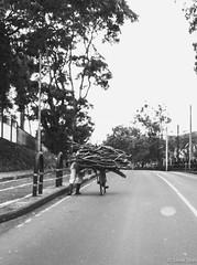 Firewood I - 28th November 2016 (princetontiger) Tags: kenya blackandwhite monochrome grayscale firewood wood uphill