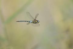 Aeshna mixta (Pipa Terrer) Tags: aeshnamixta dragonfly libélula odonata insecta anisoptera invertebrados