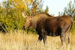 Beautiful Cow Moose In Early Morning Light (AlaskaFreezeFrame) Tags: moose cowmoose canon alaska alaskafreezeframe anchorage nature outdoors wildlife 70200mm mammals herbivore animals plants dangerous telephoto water twins