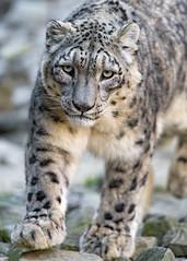Walking in a cool position! (Tambako the Jaguar) Tags: walking coming portrait rocks stones snowleopard male uncia fluffy big wild cat zürich zoo switzerland nikon d5