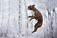 Flying boxer (Tamás Szarka) Tags: dog pet animal puppy boxerdog boxer nikon outdoor nature forest winter jump