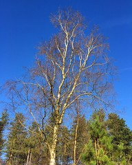 Winter Silver Birch (Marc Sayce) Tags: tree silver birch blue sky skies winter 2017 lodge forest alice holt hampshire wrecclesham farnham surrey south downs national park