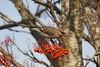Waxwing (Colin Rigney) Tags: colinrigney canoneos7d birds wild wildbird outdoor avian waxwing berries rowanberries mountainash beautifulbirds lucancodublin