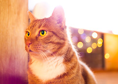 Cat in Red (chrom9) Tags: cat red orange yellow animal pet germany thuringia laucha portrait light available nikon d3 male garfield strong big green eyes sparkling bokeh warm