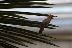 Rode kardinaal ♀ - Northern cardinal ♀ (Den Batter) Tags: nikon d7200 burgerszoo rodekardinaal northerncardinal cardinaliscardinalis
