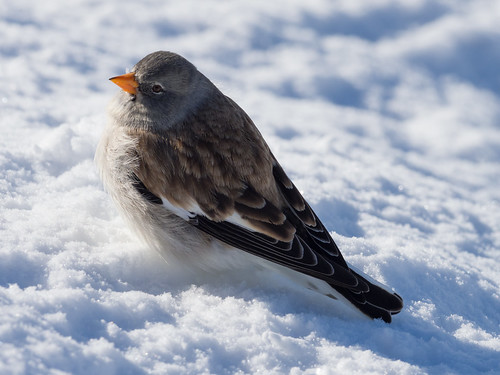 White-winged snowfinch / Schneesperling (Montifringilla nivalis)