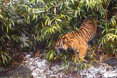 IMG_4175 (TvdMost) Tags: burgersrimba burgerszoo pantheratigrissumatrae sneeuw snow sumatraansetijger sumatrantiger