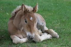Poulain (Passion Animaux & Photos) Tags: poulain foal parc auxois france