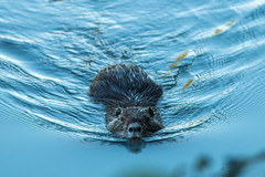 Morning workouts. Nutria (Myocastor coypus) (Giosuè Bucci) Tags: mammifero nutria nature wildlifephotography wildnature planet animal fauna followme italy