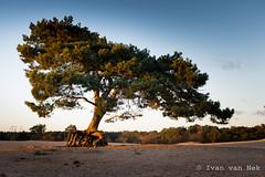 That tree again... (Ivan van Nek) Tags: nikon d7200 nikond7200 langeduinen soesterduinen 35mm sunset zonsondergang soest provincieutrecht utrecht derailinator nederland paysbas dieniederlande thenetherlands nature natuur natur
