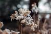 Leave a little sparkle wherever you go. (Janne Fairy) Tags: rhododendron winter flower winterzeit frozen ice snow schnee schärfentiefe depthoffield bokeh canon canon500d eos500d blume blumen