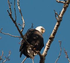 Bald eagle (plsmart) Tags: 201705 jan31 oceangrove baldeagle haliaeetusleucocephalus dncb