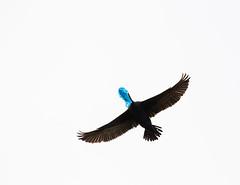 Garbageface Cormorant (jackbreakfast) Tags: toronto loneliness success secretlife carriers lesliespit secretlives birdphotography birdart avianart falsepromises avianphotography