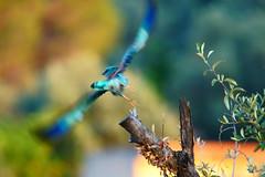 In flight (Lucio Busa) Tags: wild italy nature birds animals marina european wildlife sigma natura uccelli roller catch mm capture calabria animali slt fotografica caccia ghiandaia sonyalpha 150500