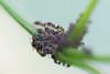 fourmi à la goutte de miellat 3.jpg (Sylvain Bédard) Tags: nature ant insects aphid fourmi puceron commensalism commensalisme