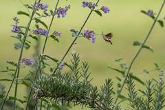 Hummingbird hawk-moth (Jan Moons) Tags: flower nature butterfly insect nikon hummingbird moth fast sigma bloem hawkmoth 70300 kolibrievlinder nikond600