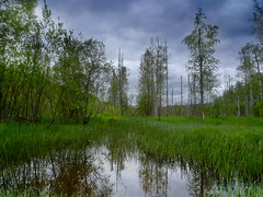 Swamp (xandybanksx) Tags: trees tree wet water clouds reeds landscape cloudy swamp marsh bog