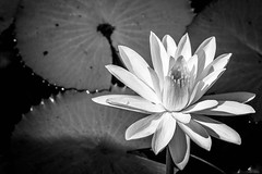 Water Lily (awdylanis) Tags: flower contrast whiteflower orlando epcot shadows waterlily lily florida disney september disneyworld swamp waltdisneyworld lilypad waltdisney 2014 swampy