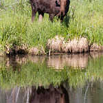 Bull Moose with its reflection thumbnail