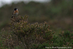 Stonechat (m) (Mike Jones Photos) Tags: male wildlife heathland gorse rspb eastdevon stonechat saxicolarubicola nikond60 firebeaconhill