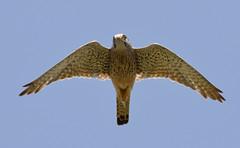 Kestrel_15-07-01_Falco tinnunculus (Langham Birder) Tags: uk norfolk kestrel falcotinnunculus