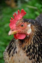 chicken at Nordur-Vík Youth Hostel (Anosmia) Tags: chickens iceland hostel vik ísland vík víkímýrdal icelandicchickens kjúklingur íslenskahænan haughænsni landnámshænan nordurvíkyouthhostel