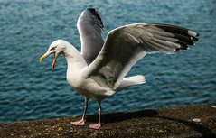 Intimidation (Jbul06) Tags: blue ireland sea howth bird wings seagull beak angry cry