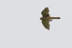 DSC_0127 Boomvalk : Faucon hobereau : Falco subbuteo : Baumfalke : Northern Hobby