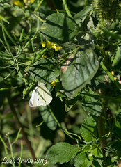 Pieris rapae (LeahAIrwin) Tags: canada weeds farming crop damage carman canola entomology mabitoba