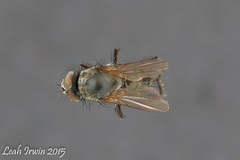 Delia platura (LeahAIrwin) Tags: macro up museum photography close insects science bugs delia biology wallis flu entomology diptera roughley platura