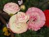 Spring in Japan (M_Strasser) Tags: japan kyoto olympus olympusomdem1 flowers persianbuttercup ranunculus ranunkeln