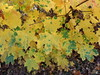 Érable plane (L'herbier en photos) Tags: sapindacées sapindaceae aceraceae acer platanoides érable plane norway maple arce real modave liège wallonie belgique condroz