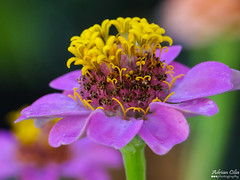 Zinnia (Drinu C) Tags: adrianciliaphotography sony dsc hx100v nature flowers fleurs flores flower fleur fiori closeup macro bokeh raynox dcr250 zinnia