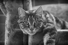 Wide-eyed (M J Adamson) Tags: sweetpea cats pets mono blackwhitephotography nz newzealand