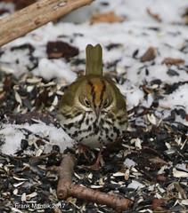 Ovenbird (Seiurus aurocapilla) (Frank Mantlik) Tags: ovenbird seiurusaurocapilla westport