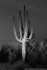 Saguaro #35 (Eric Binns Photography) Tags: saguaro cactus arizona tontonationalforest desert sonorandesert southwest landscape outdoors plant sky strobist offcameraflash offcameralighting pocketwizard blackandwhite bw